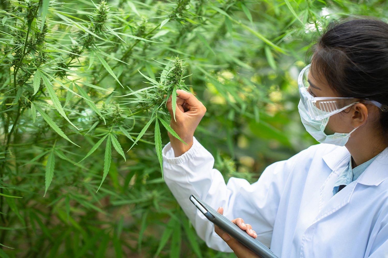Anvisa autoriza dois novos produtos à base de Cannabis